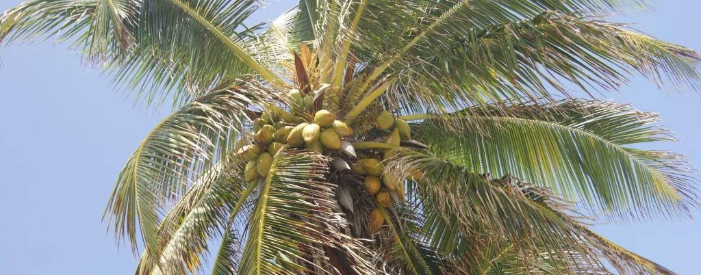 cocotiers